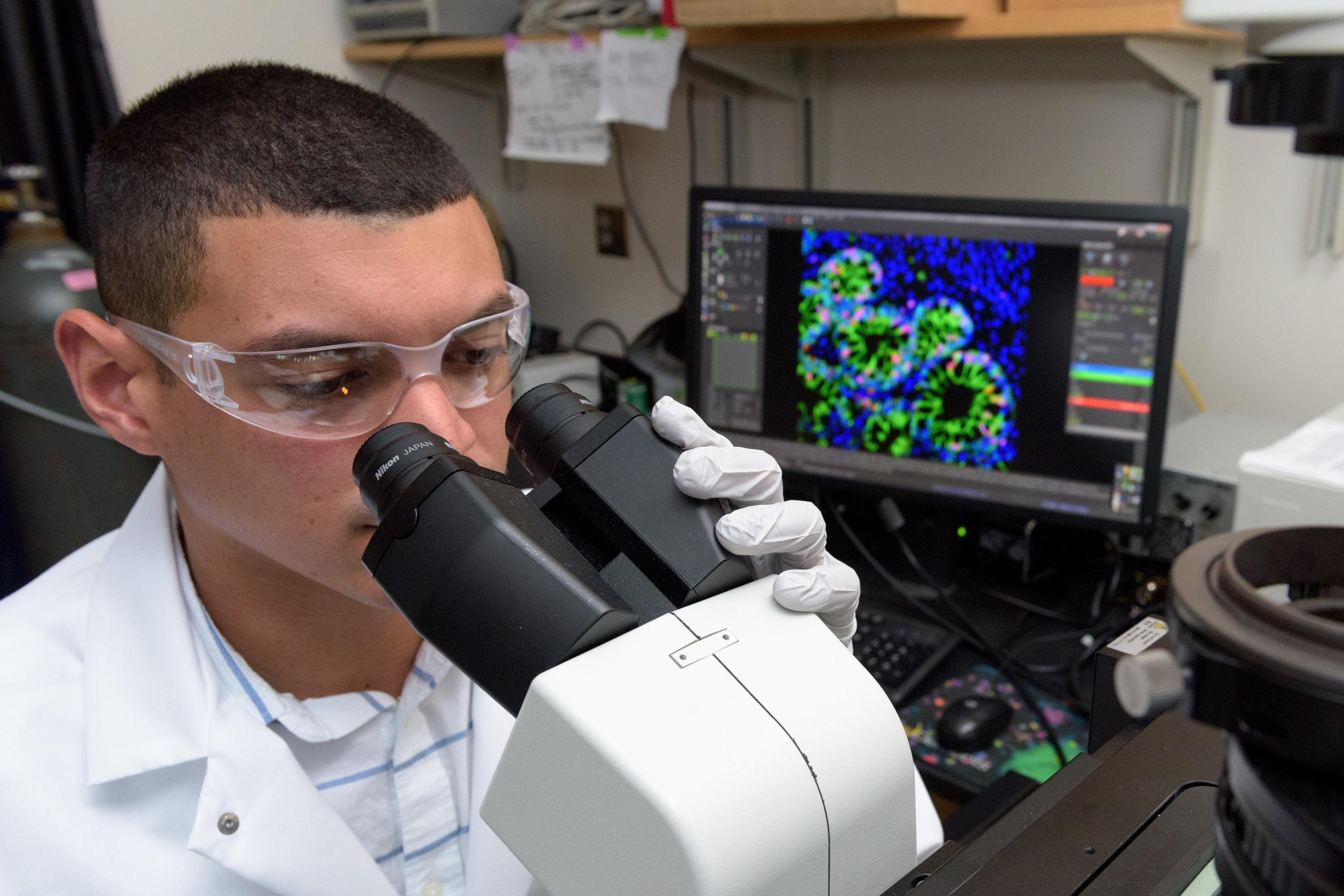 Georgia Tech Graduate Research Assistant Ricardo Cruz-Acuña examines differentiating human intestinal organoids (HIOs) under a microscope. The research may lead to a new technique for treating injuries caused by gastrointestinal diseases. (Credit: Rob Fel